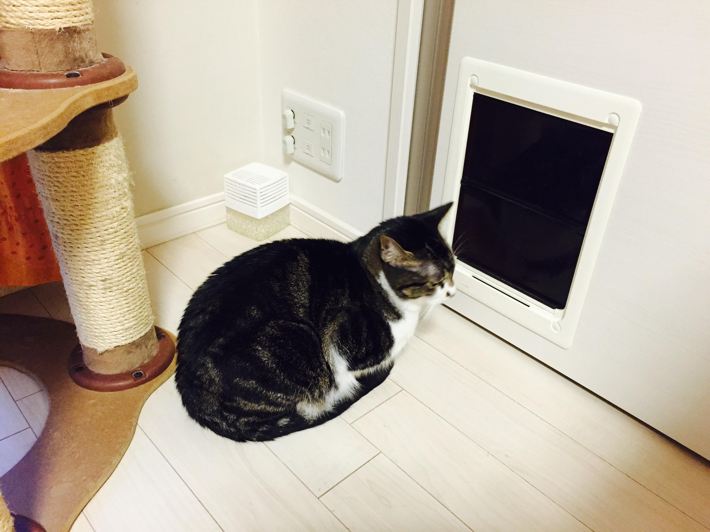 ペットドアの前で待つキジ白猫