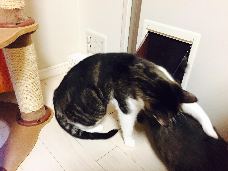 ペットドアから出てきたキジ猫を待ち伏せして襲うキジ白猫