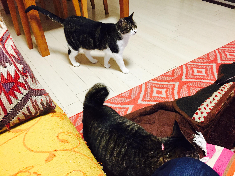 リビングのキジ白猫とキジ猫