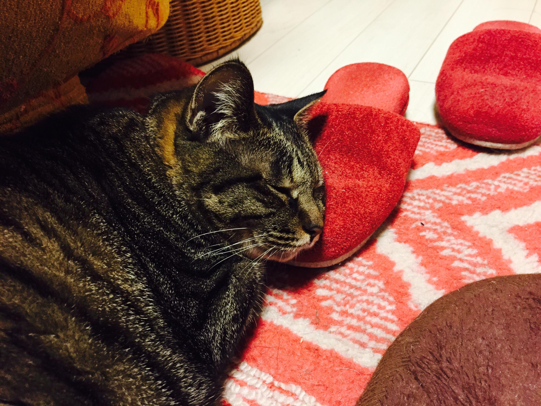 スリッパを枕にして寝るキジ猫