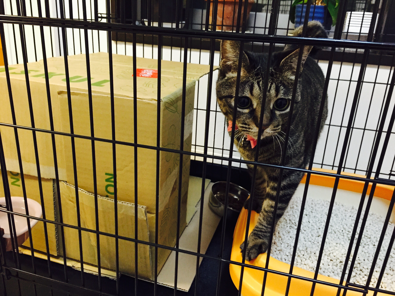 ケージの中でこちらを見るキジ猫