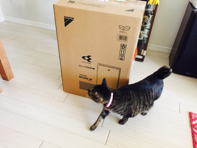 ダンボールの箱の前でウロウロするキジ猫