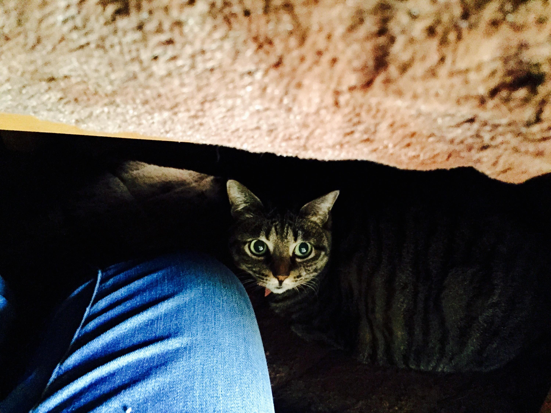 こたつの中の猫