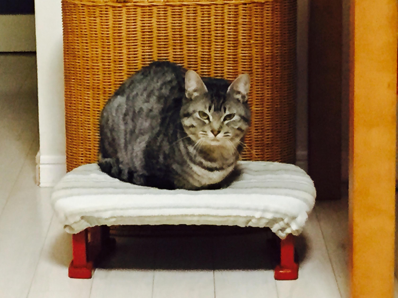 香箱座りの灰トラ猫