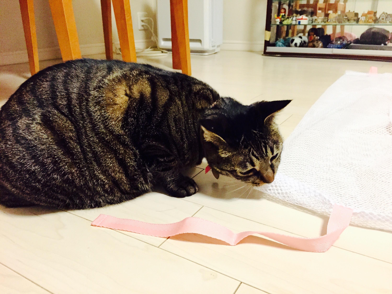 洗濯ネットを調べるキジ猫