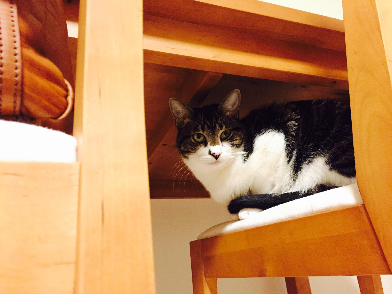 テーブルの下からうかがう白キジ猫