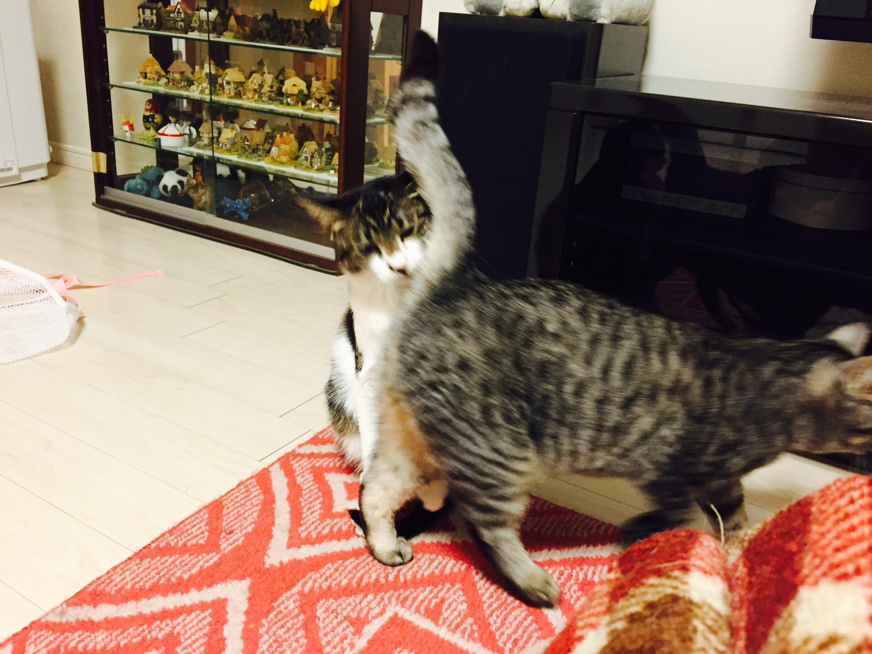 仲良しのキジ白猫と灰トラ猫