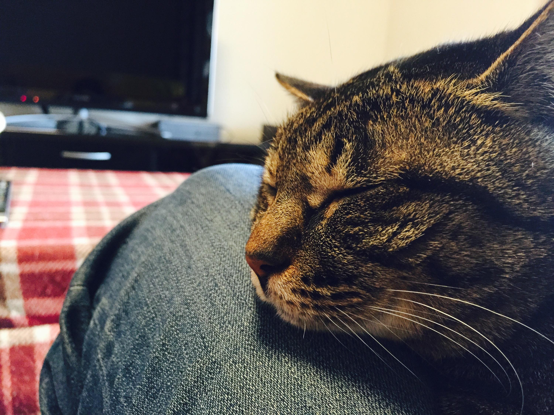 ぐっすり寝るキジ猫