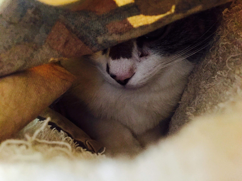 布の下に隠れているキジ白猫