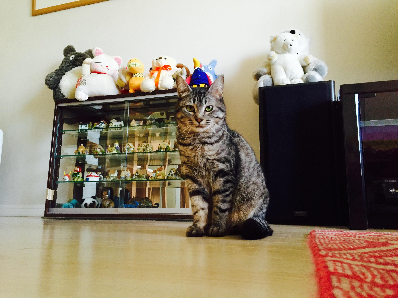 こちらを見て座る灰トラ猫