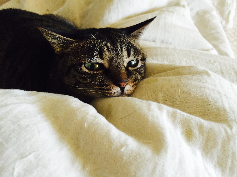 布団でぬくぬくするキジ猫