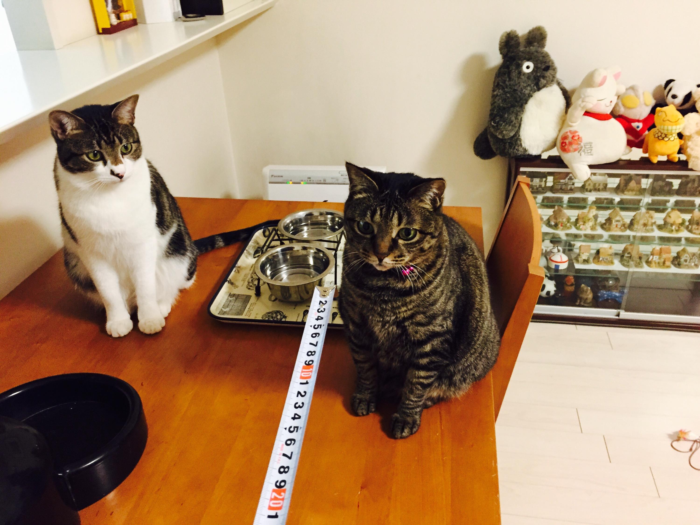 メジャーに反応するキジ猫とキジ白猫