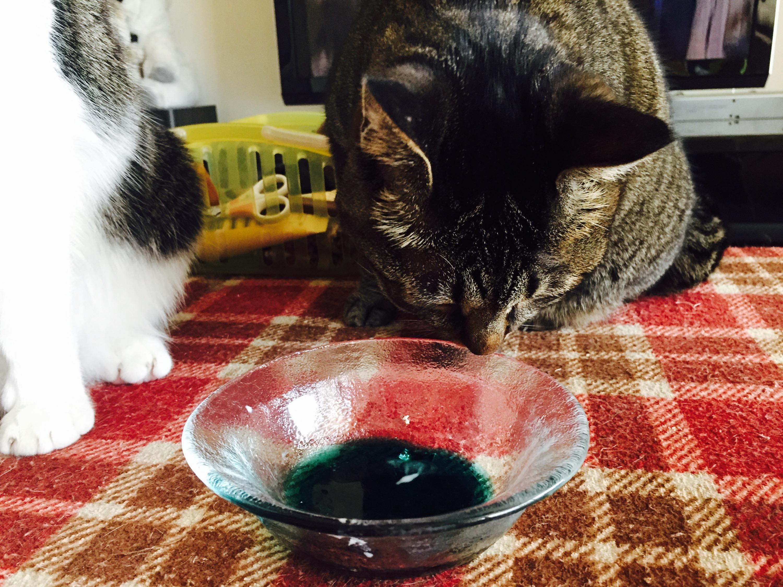 ガラスの皿を見ているキジ猫
