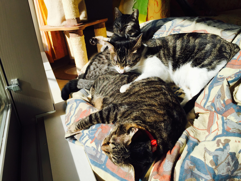 猫まんじゅう、キジ猫、キジ白猫、灰トラ猫
