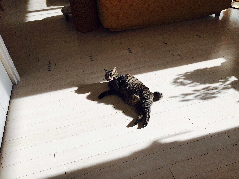 陽だまりでゴロゴロしているキジ猫