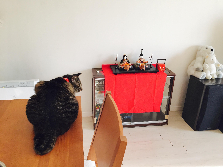 雛人形を見るキジ猫