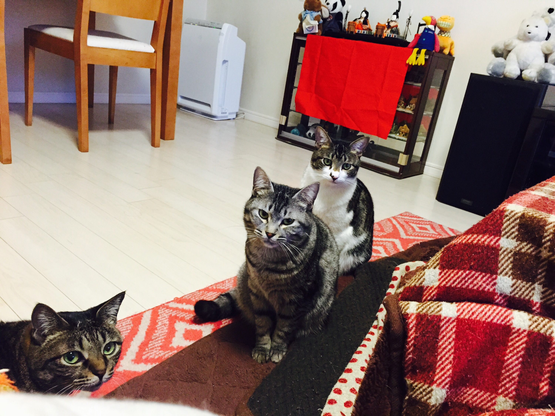 雛人形の前でご飯待ちの猫三匹