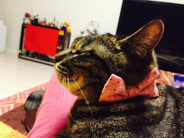 リボンの首輪をしているキジ猫