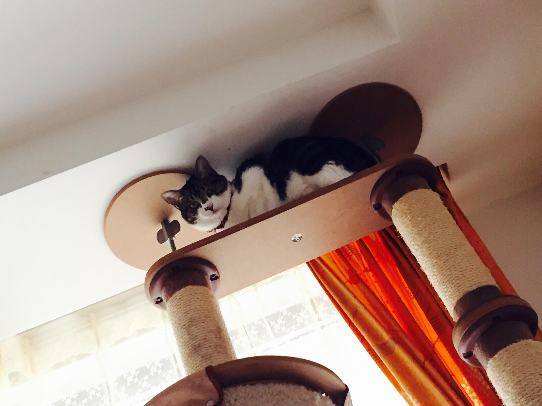 キャットタワーの上から見下ろすキジ白猫